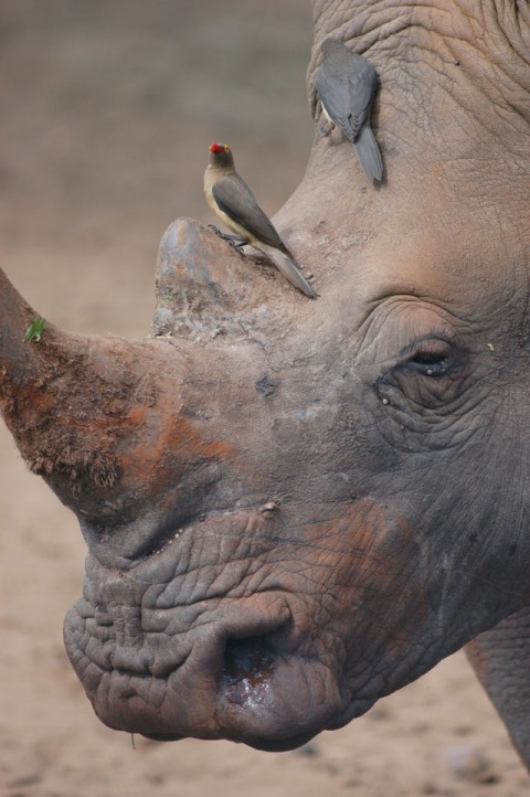 White Rhino being attended by Oxpeckers South Africa 2005 RJB